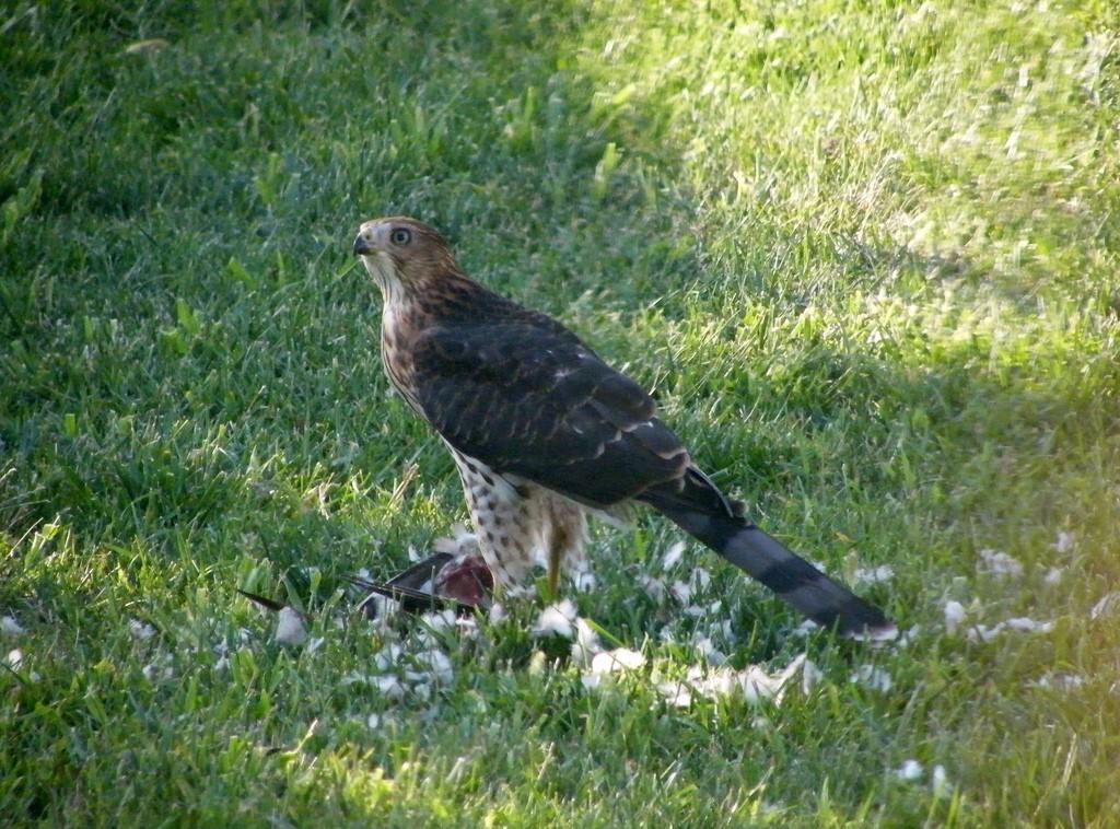 Backyard Hawk